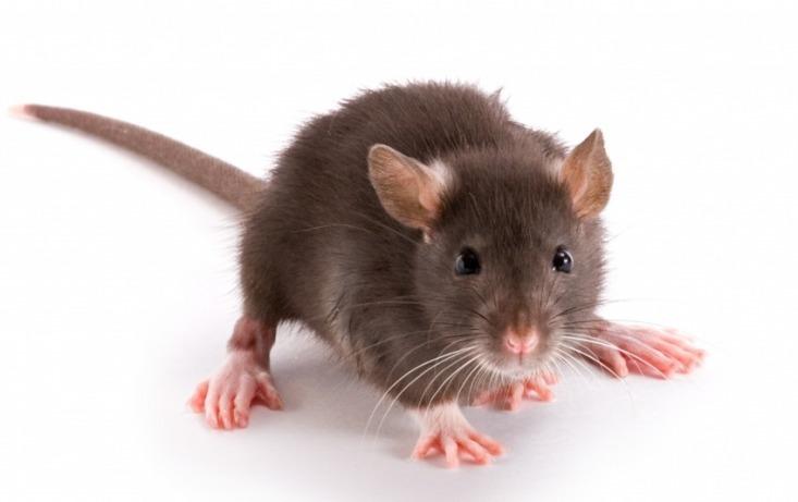 Bruine rat 1