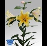 VWS Export - Import of Flowerbulbs - Foto's